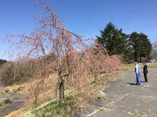 センター施設前の過去に植樹した枝垂桜